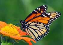 What do butterflies eat